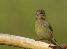 Young Greenfinch on the branch. Poland in July.Young Greenfinch sitting in the branch and he wants to fly up to the feeder with many tasty seeds of the sunflower Royalty Free Stock Photography