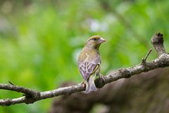 Young Greenfinch Stock Images