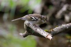 Young Greenfinch sitting on a branch Stock Photo