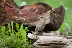 Young Greenfinch sitting on a tree Royalty Free Stock Photography