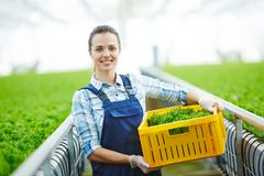 Lettuce harvest. Young greenhouse worker in uniform looking at camera while carrying box with fresh lettuce Royalty Free Stock Images