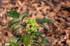 Young flower buds on holly/ilex bush in the springtime sun Stock Image