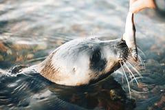 Young Greenland Harp Seal Stock Photos