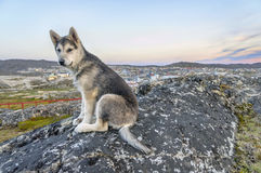 Young Greenland Husky sitting in front of Ilulissat Stock Image