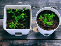 Young greens in pots, sprouts of basil and coriander Royalty Free Stock Photos