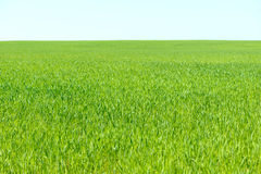 Young greenwheat field. Young green wheat field background Royalty Free Stock Photos
