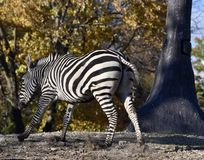 Young Grevy's Zebra Running Royalty Free Stock Photo