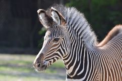 Young grevy's zebra Stock Images