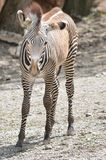 Young grevy's zebra Royalty Free Stock Photos