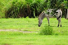 Zebra in zoo. Young Grevy's Zebra eating in a South Florida zoo Stock Photos