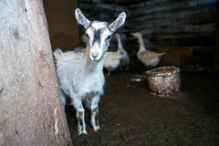 Young grey baby goat in a cowshed Stock Images