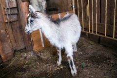 Young grey baby goat in a cowshed Stock Photos