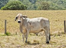 Young grey brahma cow on cattle ranch Royalty Free Stock Image