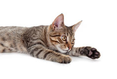 Young grey cat Royalty Free Stock Images