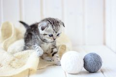 Young grey cat plays with the balls of yarn. Royalty Free Stock Images