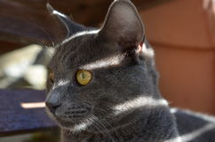 Young grey cat Royalty Free Stock Photography