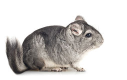 Young grey Chinchilla, side view Stock Images