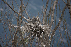 Young Grey Heron (Ardea cinerea). On the nest Stock Photo