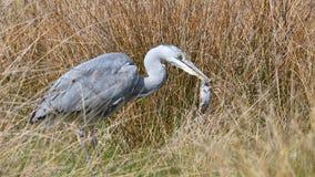 Young grey heron Stock Image