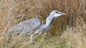 Young grey heron Royalty Free Stock Photo