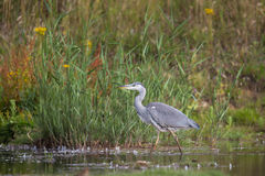 Young Grey Heron walking in natural setting Royalty Free Stock Photography