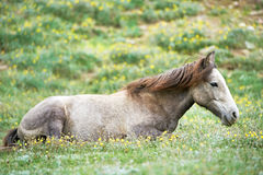 Young grey horse on green grass pasture Royalty Free Stock Image