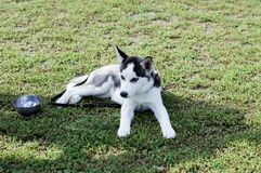 Young grey husky on the lawn Stock Photography