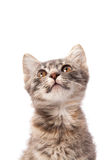 Young grey kitten Royalty Free Stock Photography