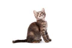 Young grey kitten Stock Photos