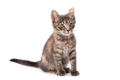 Young grey kitten Royalty Free Stock Photos