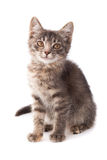Young grey kitten Stock Images