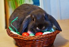 Young grey rabbit with flappy ears, sitting in easter egg nest royalty free stock photo