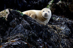 Young Grey Seal. A young grey seal resting on a rock Royalty Free Stock Photos
