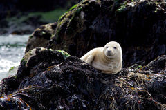 Young Grey Seal. A young grey seal resting on a rock Stock Images