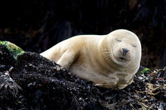 Young Grey Seal. A young grey seal resting on a rock Stock Photo