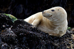 Young Grey Seal. A young grey seal resting on a rock Royalty Free Stock Photography