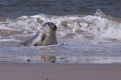 Young grey seal Stock Image