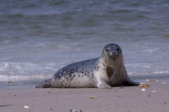 Young grey seal Royalty Free Stock Photo