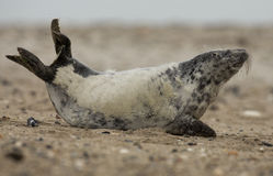 Young grey seal Royalty Free Stock Photography