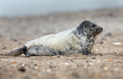 Young grey seal Royalty Free Stock Photos