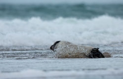 Young grey seal Royalty Free Stock Image