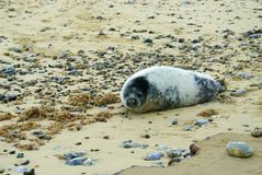 Young grey seal pup on beach royalty free stock photos