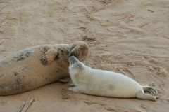 Young Grey Seal Pup kissing its mother royalty free stock photos