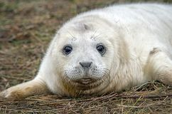 Young grey seal pup looking forward. A close up portrait of a grey seal pup looking directly forward and appears to be smiling Royalty Free Stock Photos