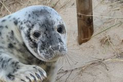 Young Grey Seal Pup stock image