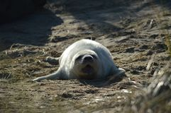 A young Grey Seal. In the sand dunes at Horsey Norfolk UK Stock Image