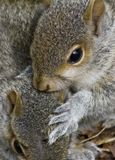 Young Grey Squirrels. Infant grey squirrels having fun stock photo