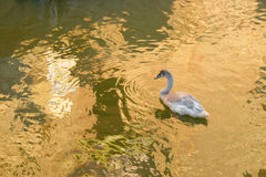 Young grey swan on a lake. Young grey swan on a lake with beautiful golden water reflections Royalty Free Stock Images