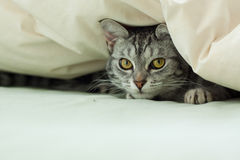 Young grey tabby cat hiding in  quilt. Young grey tabby cat peeking out from underneath a quilt on a bed Royalty Free Stock Photos