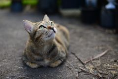A Young grey tabby cat looking to the sky and resting on the Cement floor. The Young grey tabby cat looking to the sky and resting on the Cement floor royalty free stock images